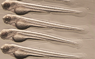 Australian Zebrafish stem cells